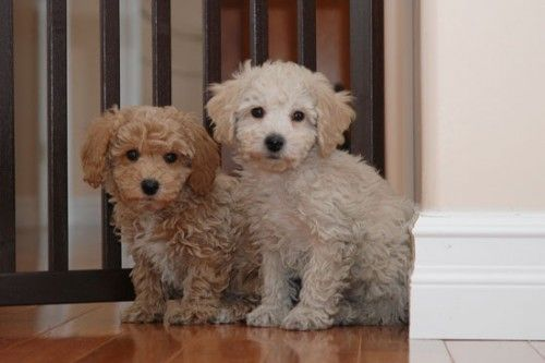 These Are So Cute They Look Like Stuffed Animals Bichon Poodle Poochon Dog Cute Little Animals Puppies