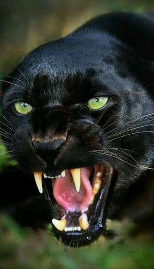 Pin by Alex Schultz on big cats | Pinterest | Cat, You ve ... - photo#36