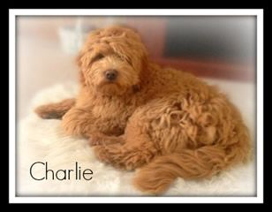 Lakeview S Goldendoodle Puppies New York Goldendoodle Breeder New York Mini Goldendoodles Ny Standard Double Doodle Puppies Goldendoodle Puppy Doodle Puppy