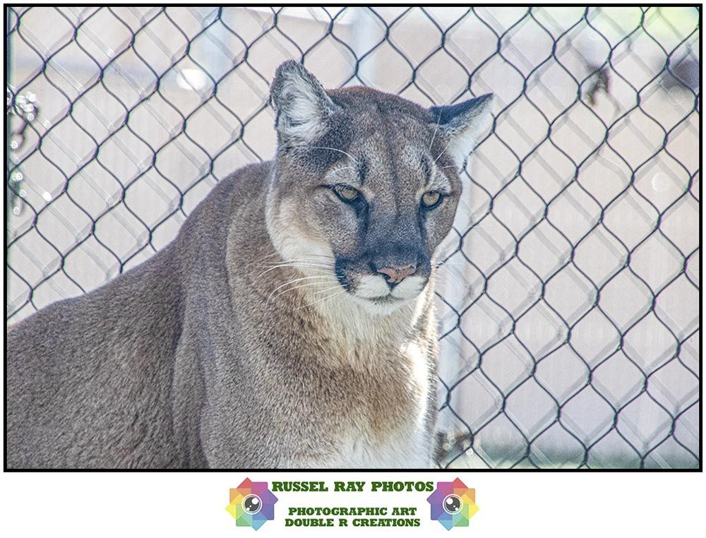 Out & About—Puma concolor in 2020 San antonio zoo