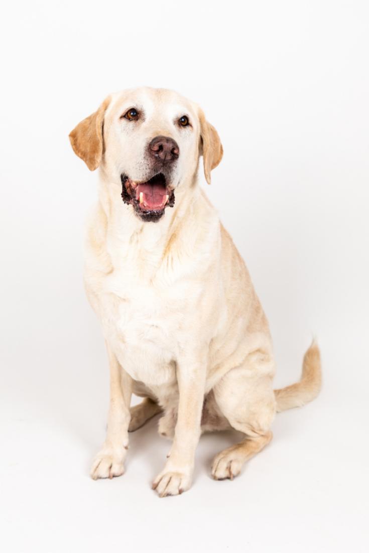 Brown Labrador Dog Sitting In A Studio With White Background Labradorretriever Golden Retriever Labrador Labrador Retriever Labrador