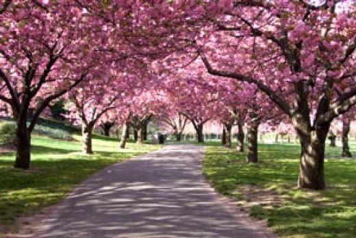 Washington Org Cherry Blossom Festival Cherry Blossom Dc Cherry Blossom