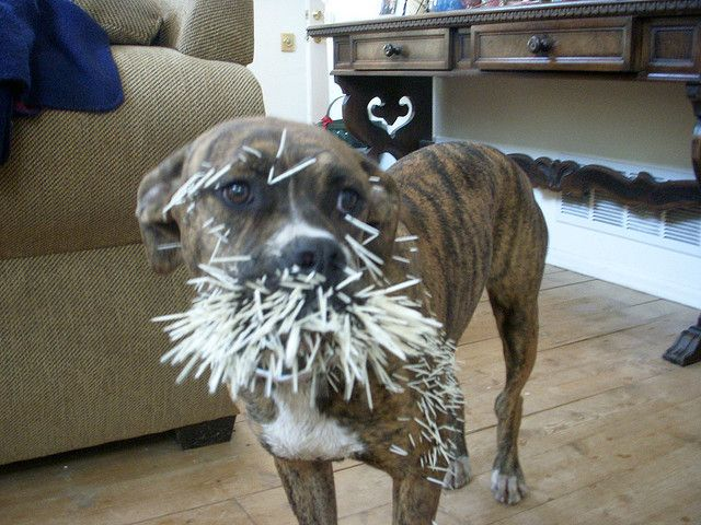 0568691690ae08f8724978988a6caa29 - How To Get Porcupine Quills Out Of A Dog