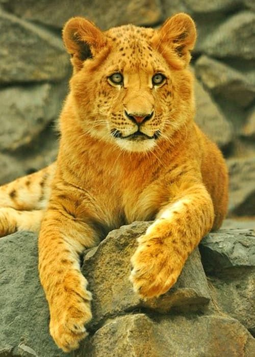 When a female liger successfully mates with a male liger ...