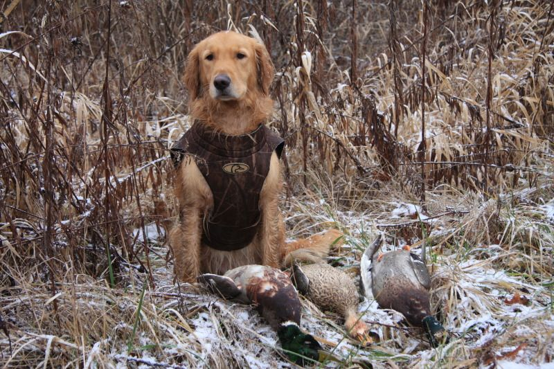 Golden Retriever Hunting Had A Nice Day In The Marsh With My Guy