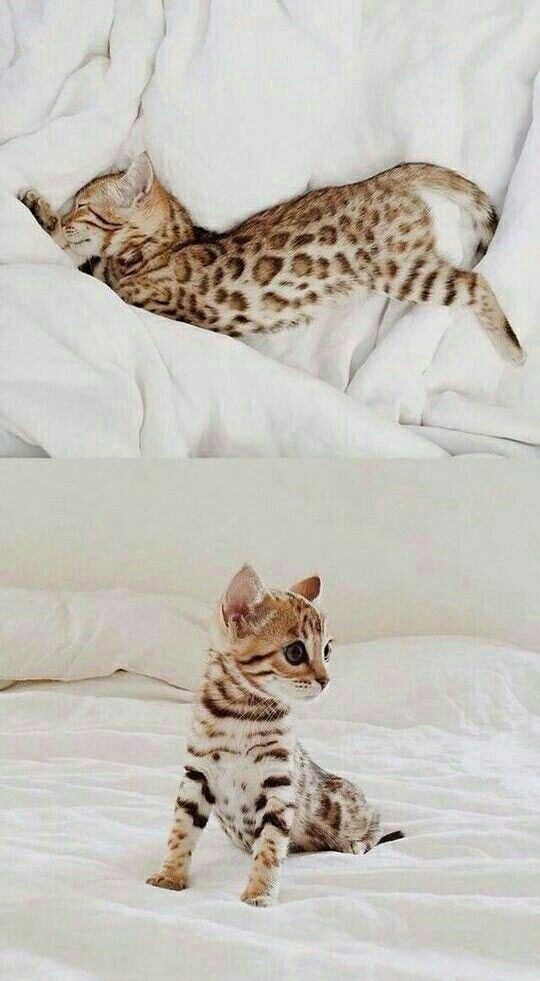 Pin By Victoria Armet On Animals In 2020 Bengal Kitten Cute