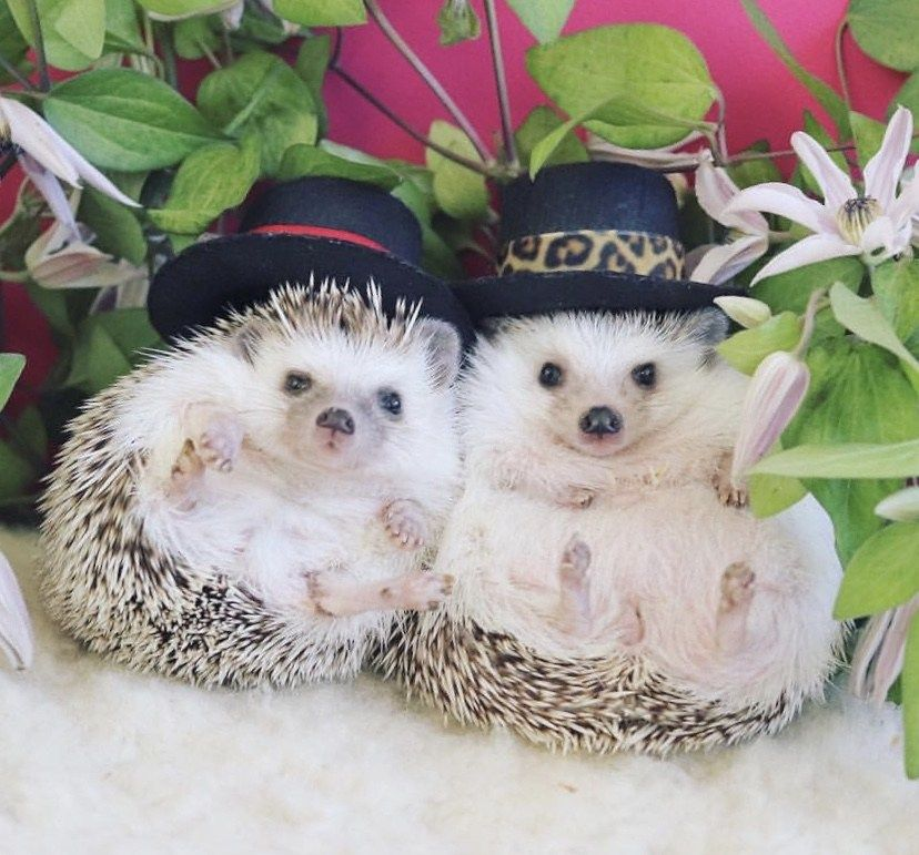 So Cute Visit Us For More Hedgehogs With Images