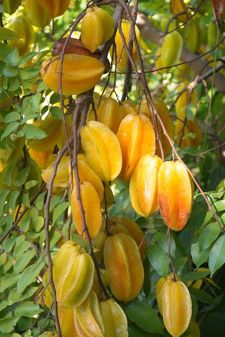 Averrhoa Carambola aka (Star Fruit)