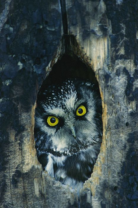 Owl peering out