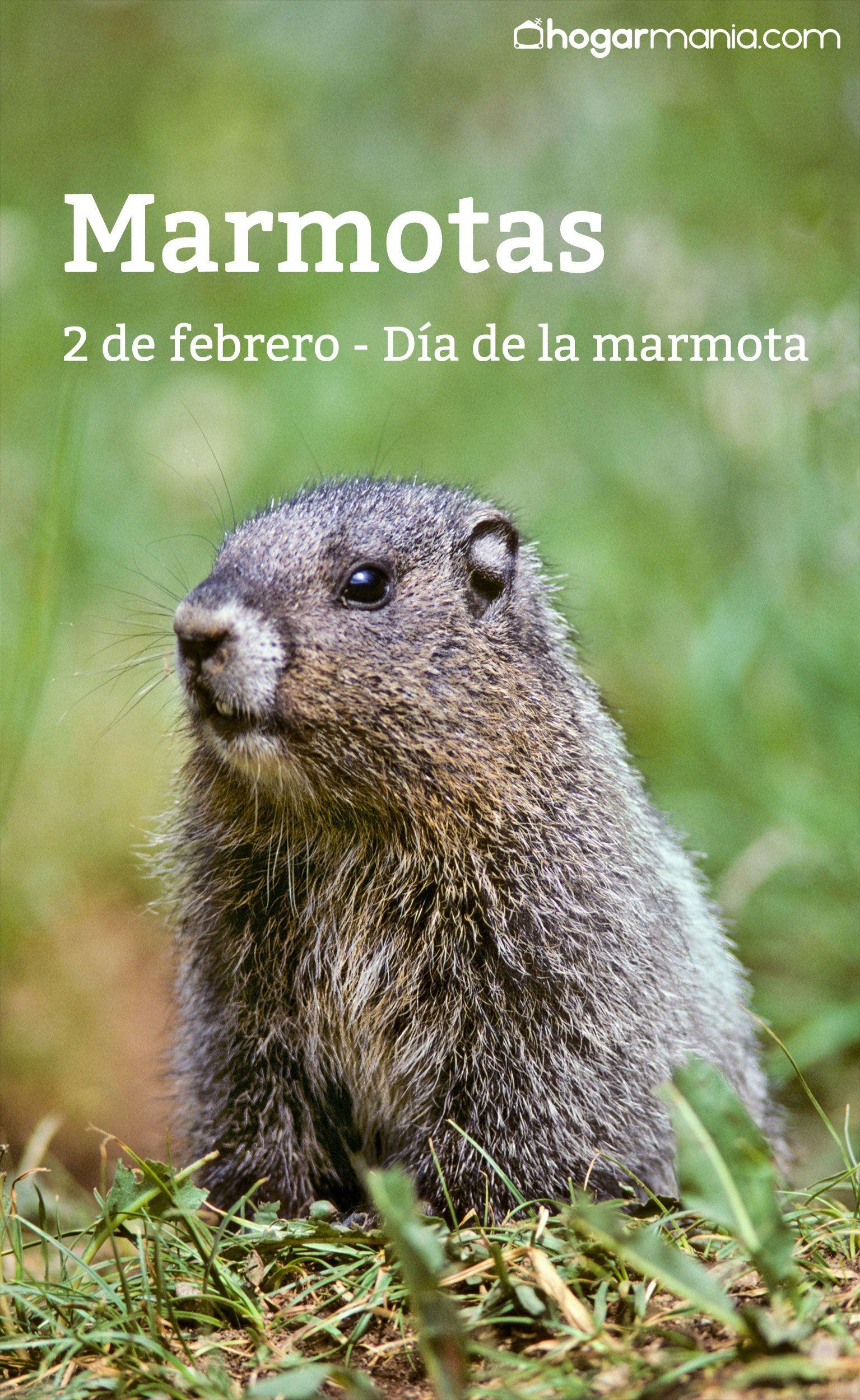 Marmotas, curiosidades sobre estos roedores | Marmotas | Pinterest ...