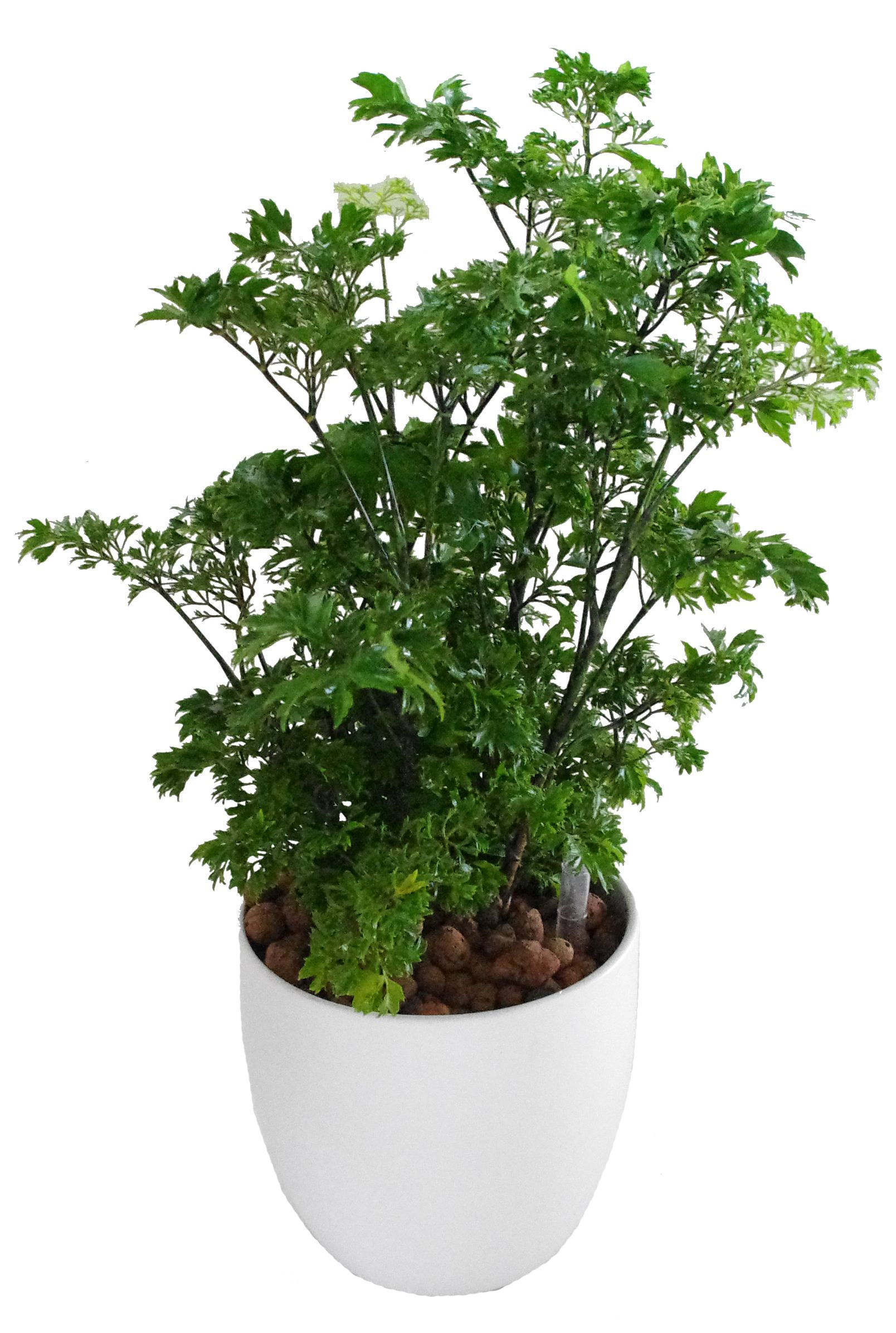 Ming Aralia For The Home Plants Indoor Plants House