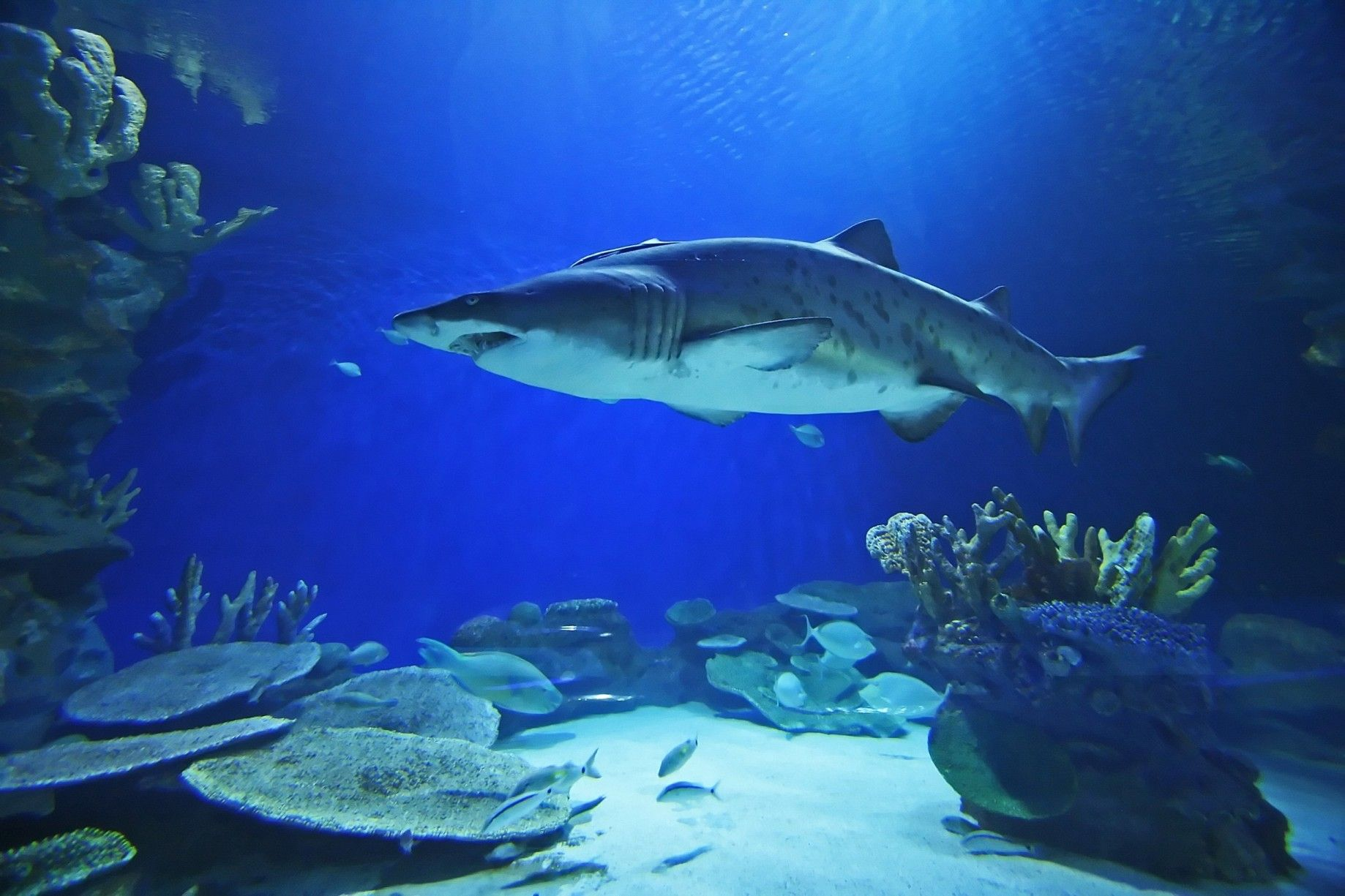 New Biggest Shark | at world's most significant population