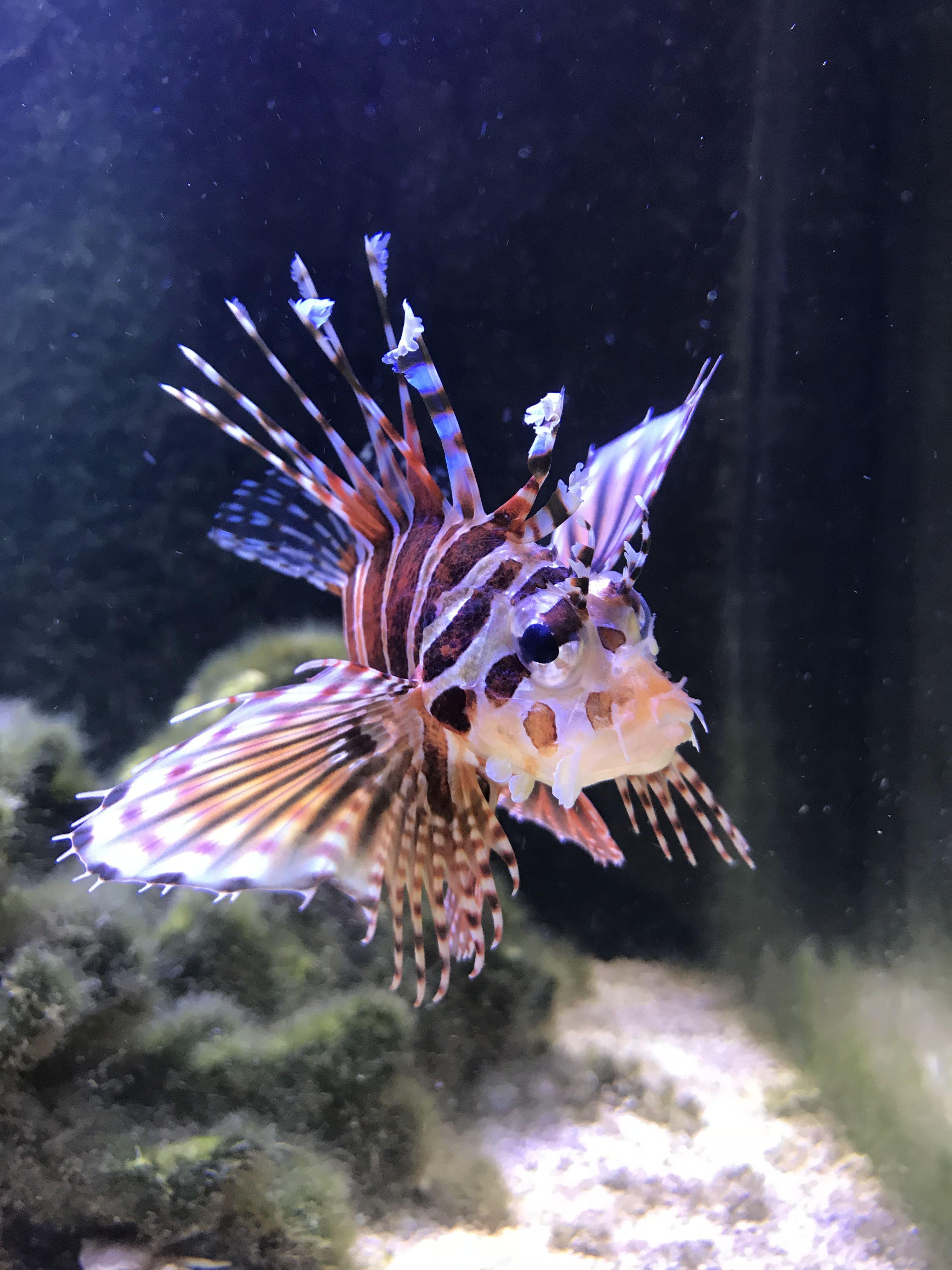 Fuzzy Dwarf Lionfish Lion Fish Fish Pet Marine Life