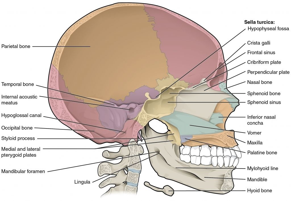 anatomy of sphenoid sinus the skull anatomy and physiology, Human Body
