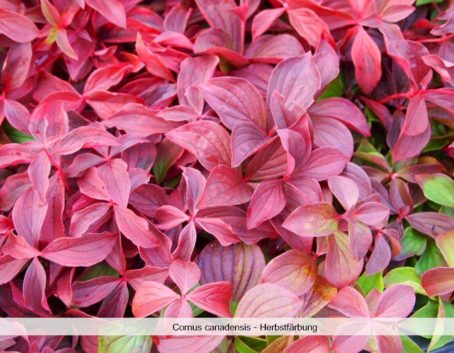 Teppich Hartriegel Cornus Canadensis Gunstig Online Kaufen Rote Blatter Pflanzen Bodendecker