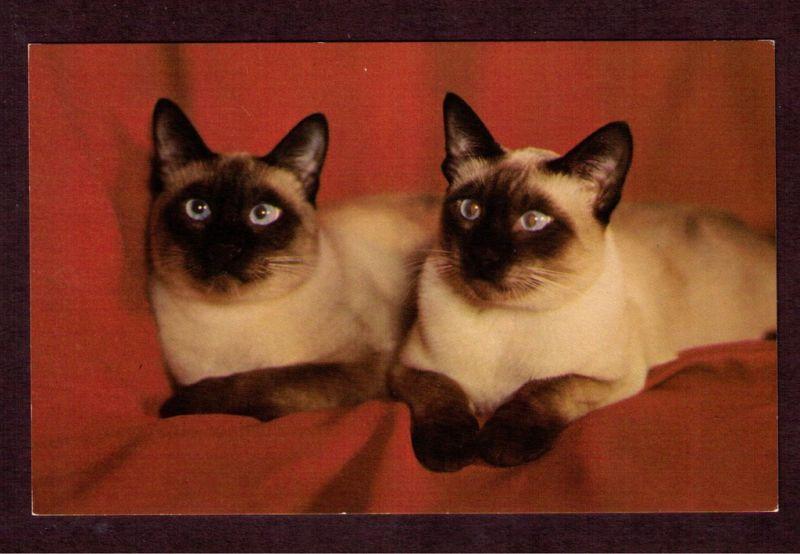 Cross eyed Siamese Cats.. I want them! | Animals | Pinterest