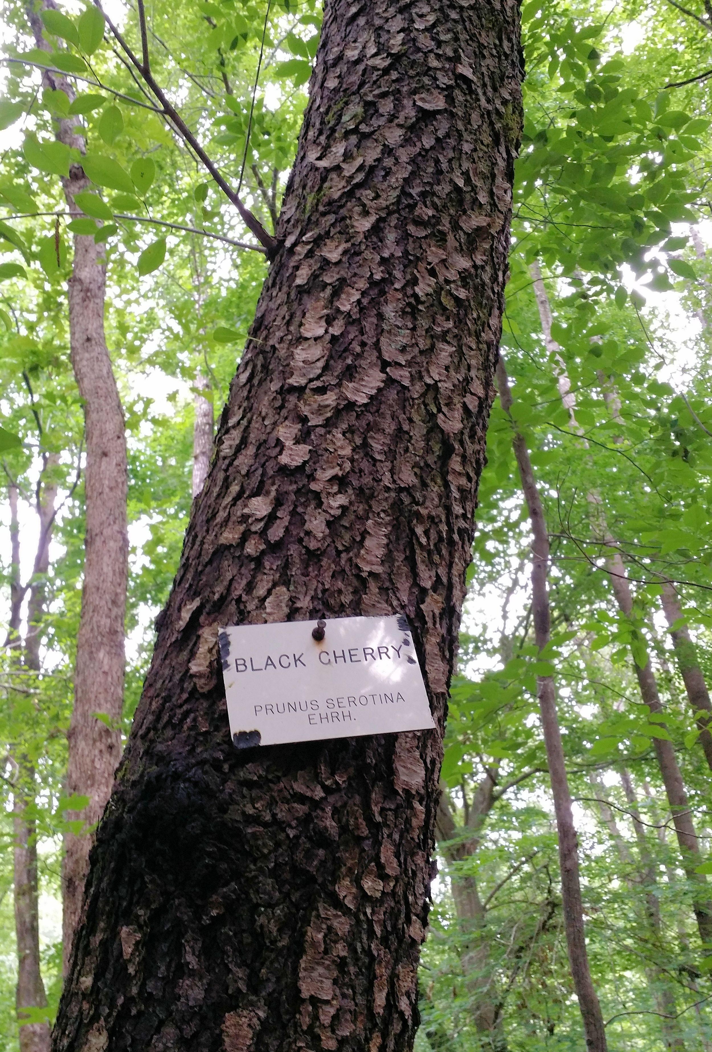 Black Cherry Tree Black Cherry Tree Tree Arboretum