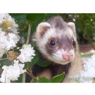 Pet Ferrets @ferret_farm Instagram photos | Websta (Webstagram)