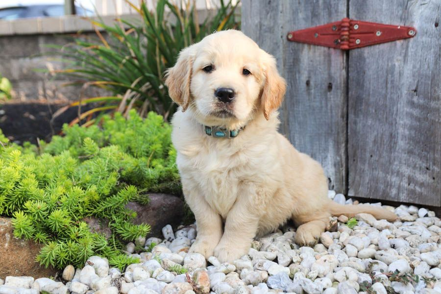 Golden Retriever Puppies For Sale In Ohio Under 200