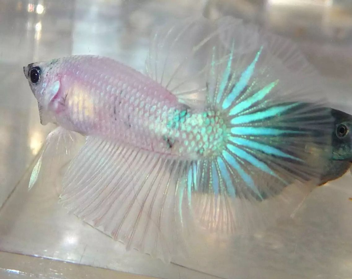 Beautiful cellophane iridescent halfmoon betta ebb for Buy betta fish