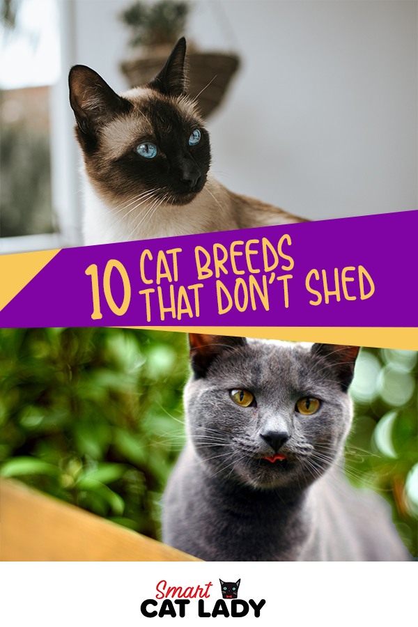 10 Cat Breeds That Don't Shed in 2020 Cat breeds, Cats