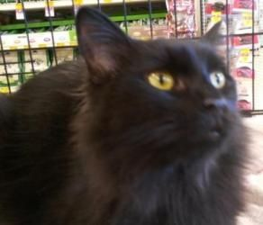 Buddha Is An Adoptable Domestic Long Hair Cat In Raleigh Nc This Super Sweet Laid Back Kitty Is Buddha He Was Rescu Long Haired Cats Animals Animal Shelter