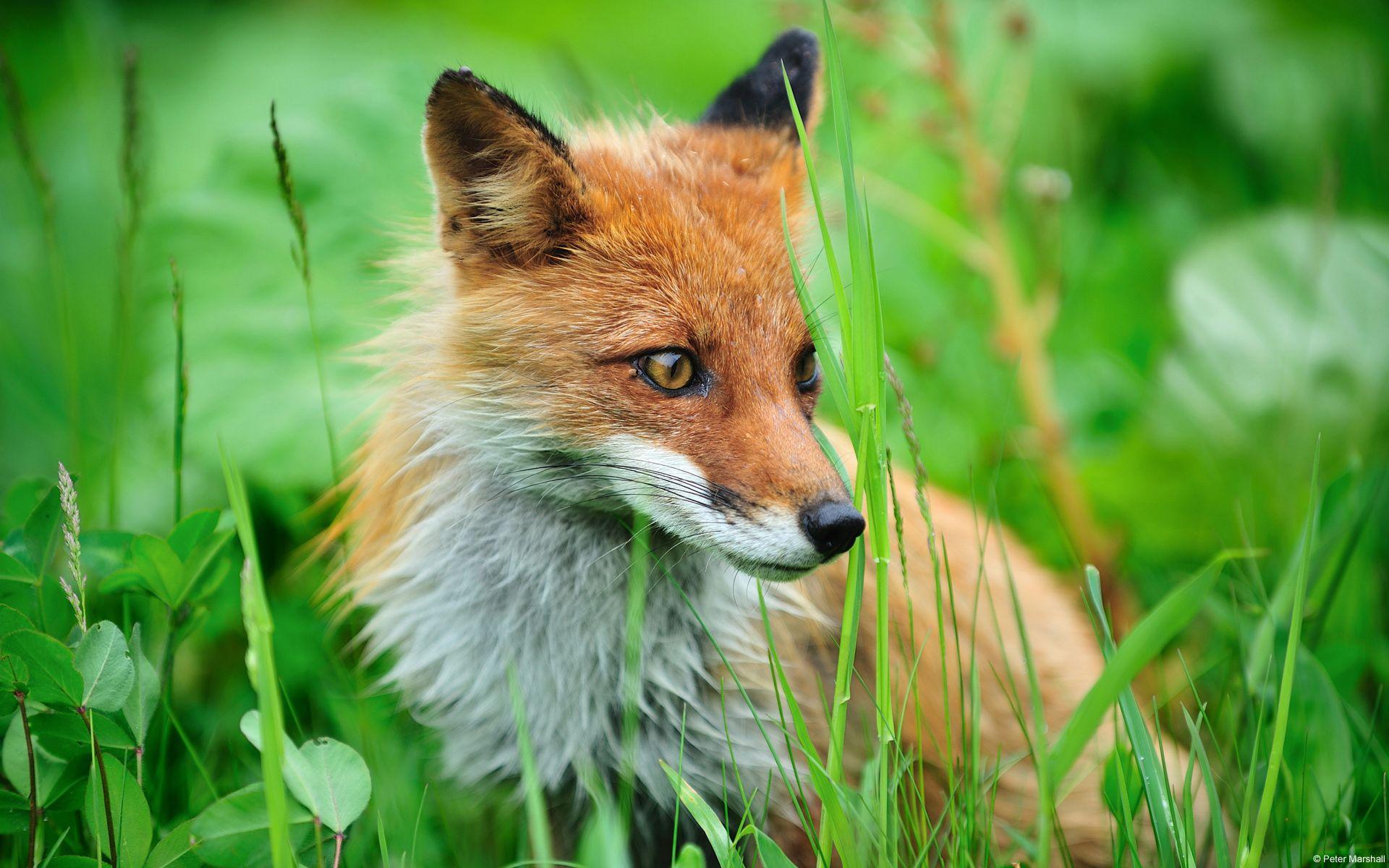 Desktop Backgrounds Microsoft Windows Fox Pictures Animal Wallpaper Fox