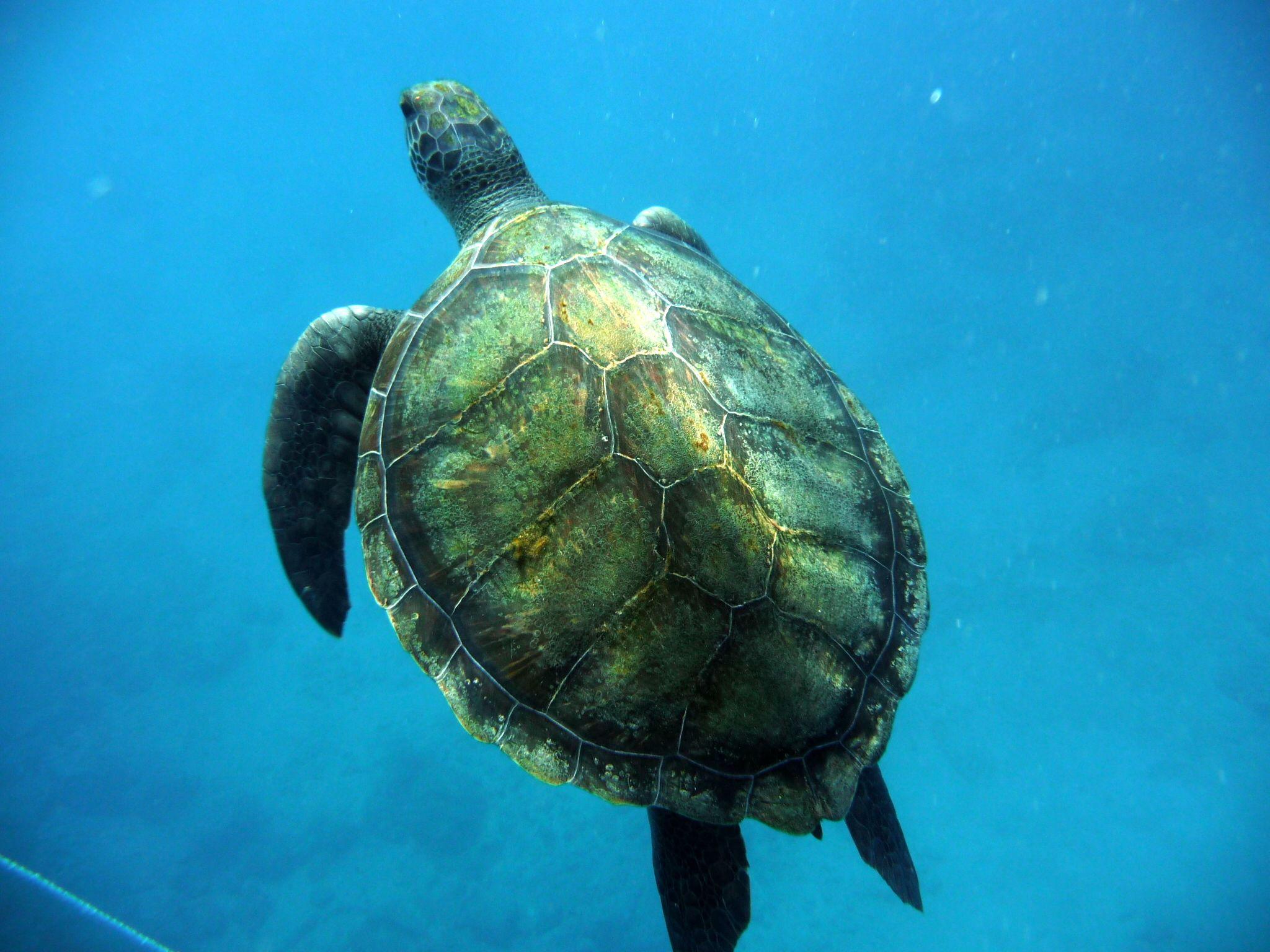 изделие морская черепаха фото и названия удобства туристов