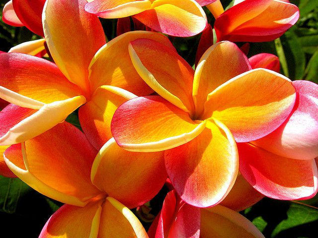Hawaiian flowers beachy keen pinterest hawaiian flowers hawaiian flowers mightylinksfo