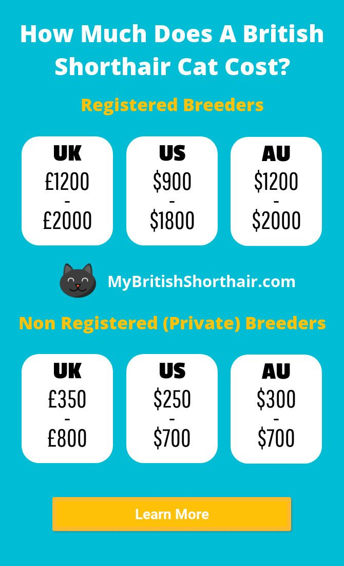 How Much Does A British Shorthair Cat Cost (US/UK/AU