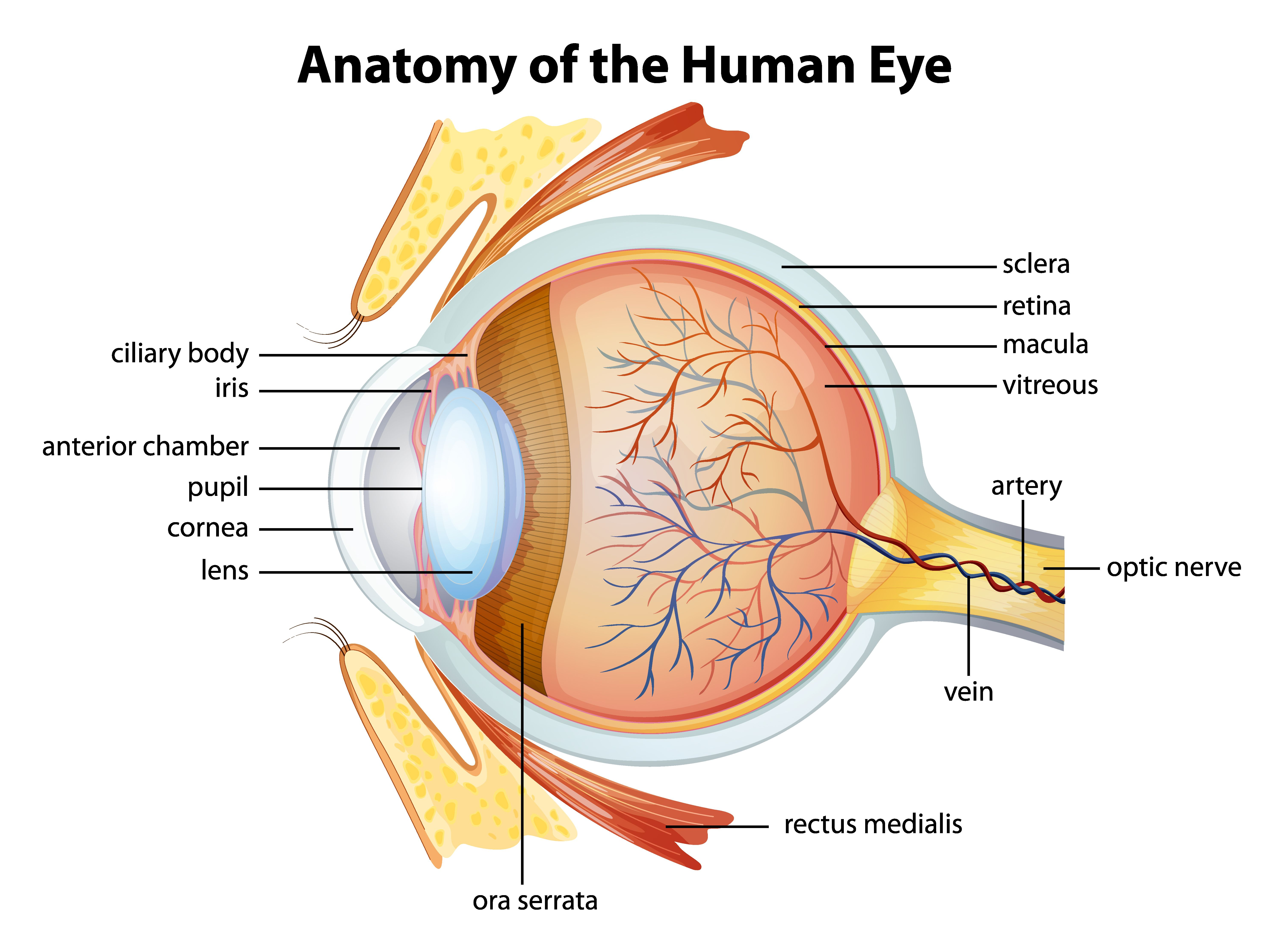 Natural remedies for eye inflammation   Health Tips   Pinterest ...