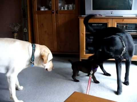 Labrador Retriever Puppies Bc Lab Puppy Meeting Her Two New
