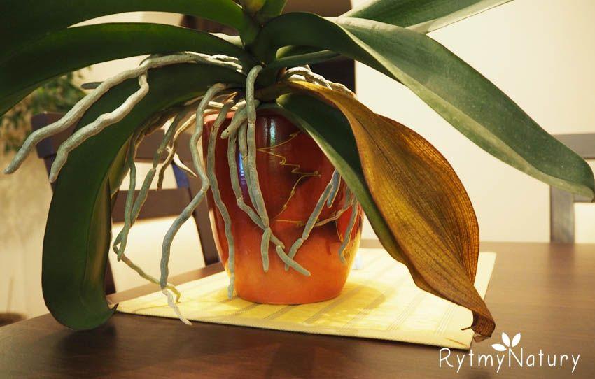 Dlaczego Zolkna Liscie Storczyka Video Organic Gardening Tips House Plants Plants