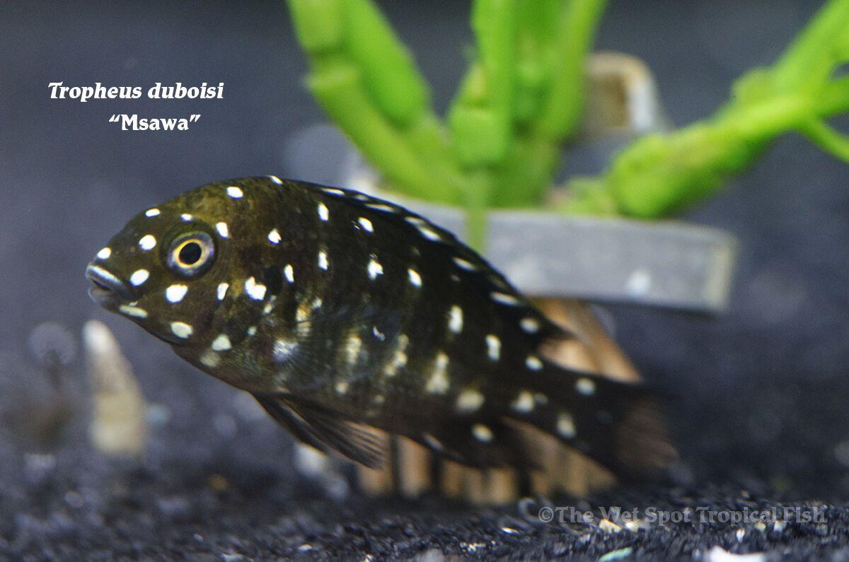 Tropheus Duboisi Maswa Cichlids Aquarium Fish Aquarium Landscape