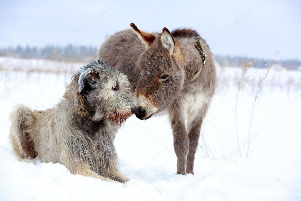 Âne et le chien de l'irish wolfhound (avec images)   Chien ...