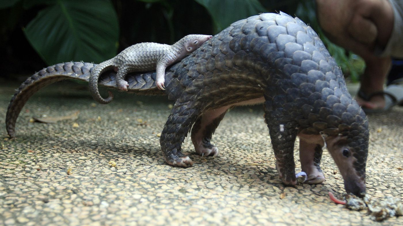 Pangolin, The 'Artichoke With Legs,' Earns Top Trade Protection | Animals  wild, Baby pangolin, Animals beautiful