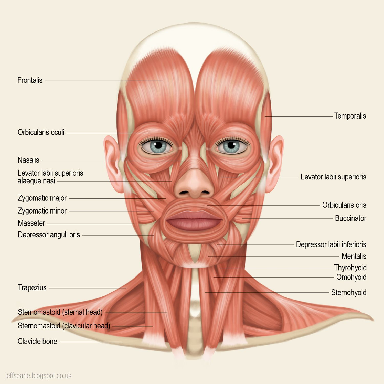 Image result for frontal view human skull muscles | Skulls ...