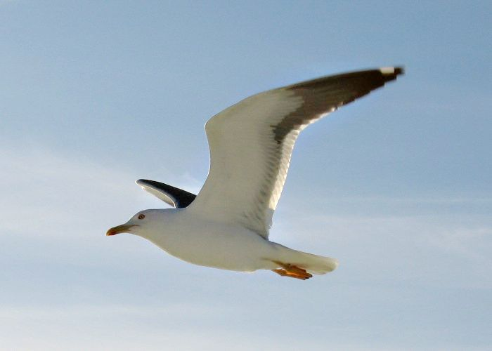 seagulls - Wikimedia