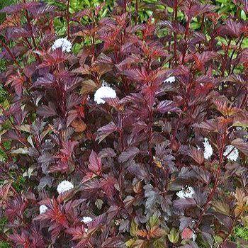 1 arbrisseau Physocarpus Diablo//Arbre Chocolat