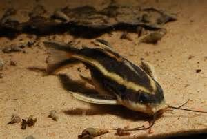 Striped Raphael Catfish Catfish Catfish Images Aquarium Catfish