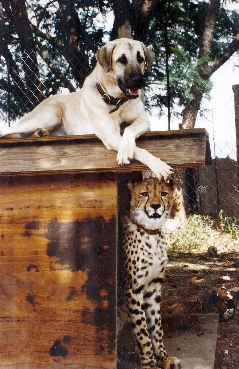 The Cheetah Conservation Fund S Livestock Guarding Dog Program Is