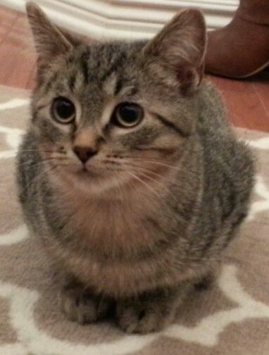 Adopt Simon On Petfinder Cats And Kittens Kittens Cats