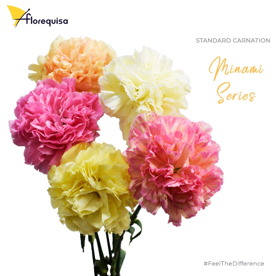 Standard Carnation Minami Series Only Grown By Florequisa In 2020 Carnations Dianthus Flowers Light Colors