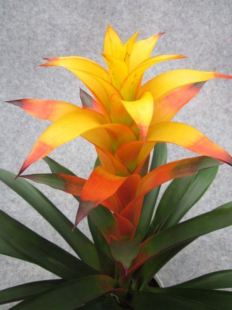Guzmania lisa bromeliads guzmania pinterest lisa air plants gardens workwithnaturefo