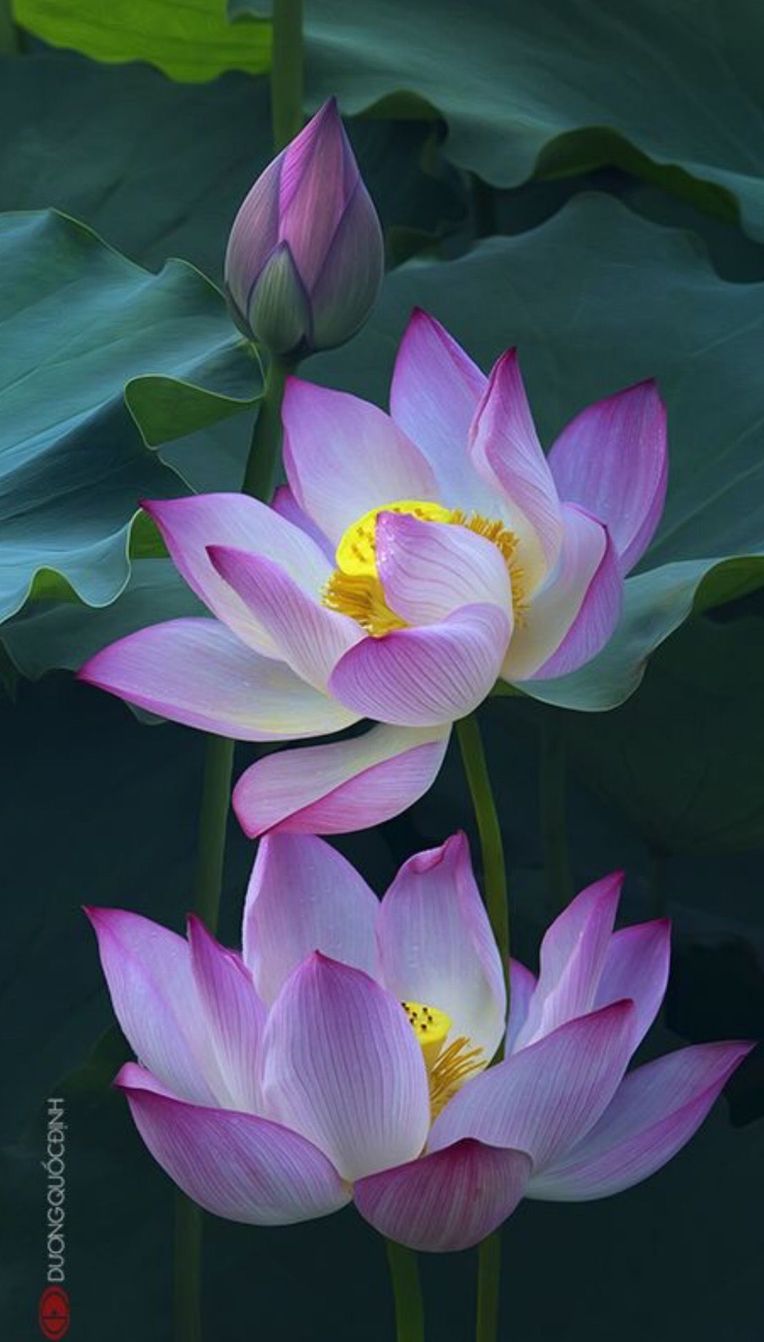 Pin by elisabelle govindin on fleurs pinterest lotus flowers heres what we found about purple flowers read up the info about purple flowers and learn more about it izmirmasajfo