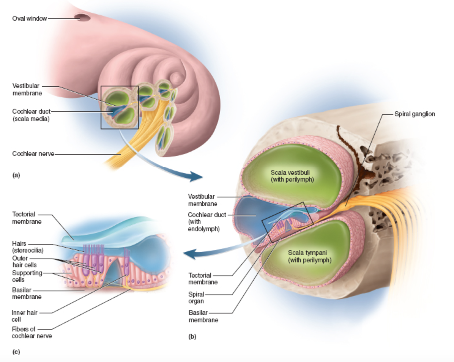hight resolution of the fluids move into the scala vestibule and out the scala lymphani the cochlear duct contains the spiral organ organ of corti
