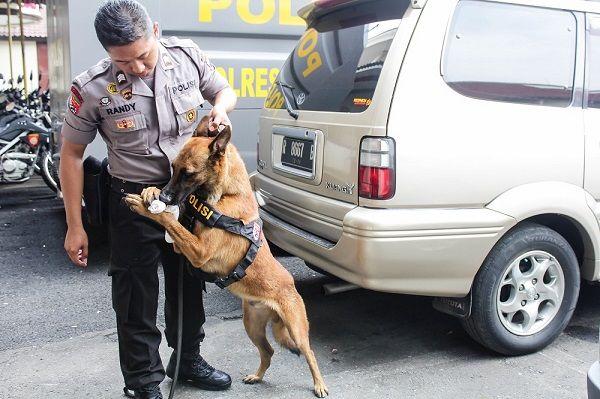 Mengenal Lebih Dekat Unit Satwa K9 Polres Cilacap Tribratanews.com – Kepolisian Resor Cilacap memiliki lima anjing khusus yang tergabung dalam Unit Satwa K9 Sat Sabhara Polres Cilacap. Lima anjing ini selalu membantu tugas kepolisian untuk melacak tindak pidana kriminal, kasus narkoba, hingga sebagai pengurai massa.