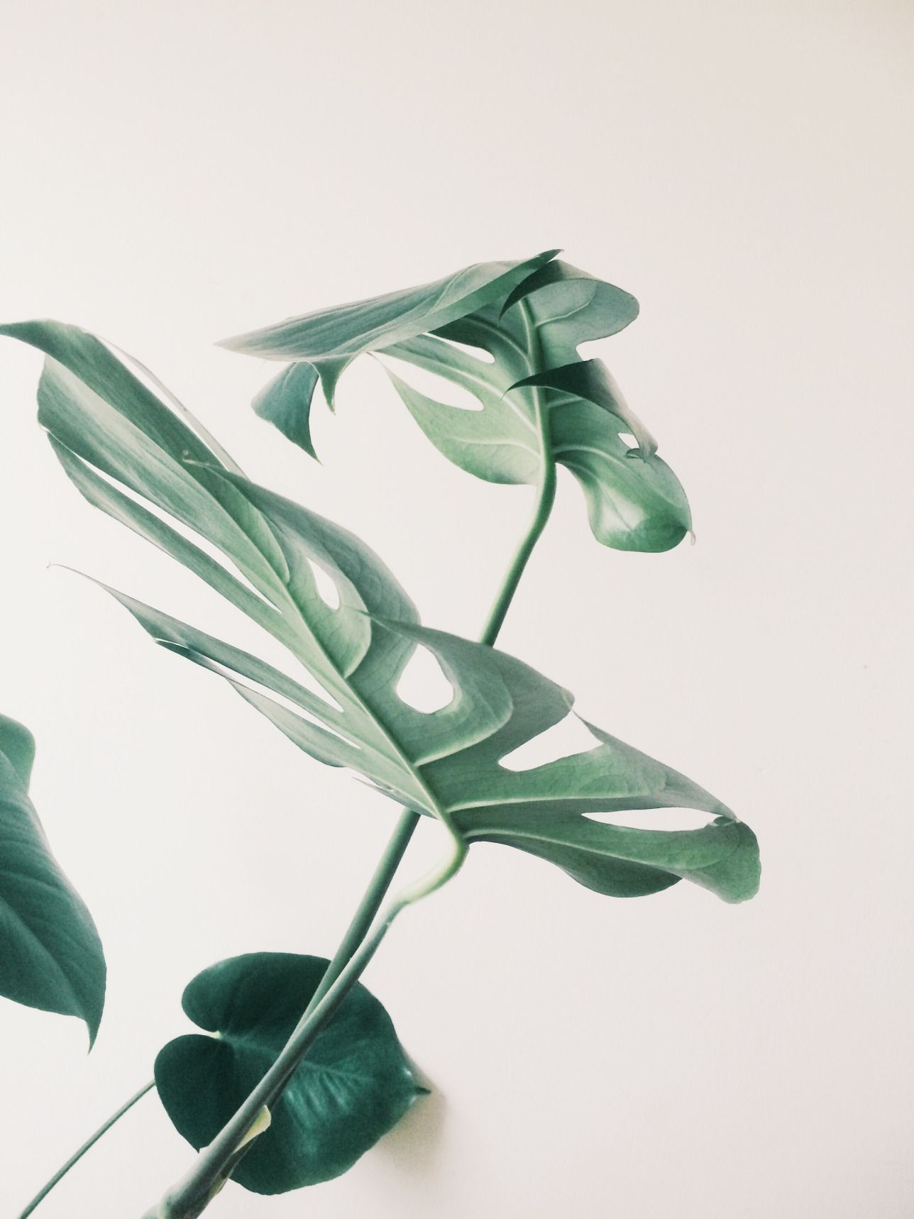 faux philodendron known as deliciosa monstera plantes d 39 int rieur pinterest vegetal. Black Bedroom Furniture Sets. Home Design Ideas