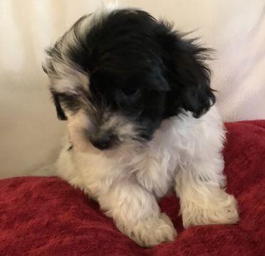 Havanese Puppy For Sale In Houston Tx Adn 20906 On Puppyfinder Com Gender Male Age 8 Weeks Old Puppies For Sale Havanese Puppies Havanese