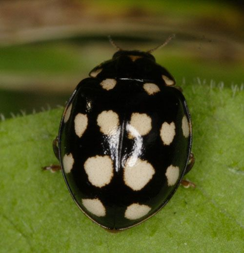 Find this Pin and more on Lady bugs. Gray ladybug  Ladybird Beetle   I have actually seen one of these